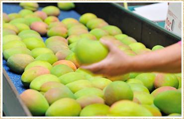 Mango   DiamondStaraus